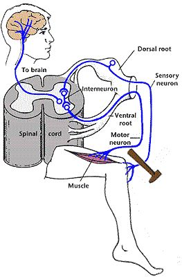 The Somatic and Autonomic Nervous Systems - Bethopedia
