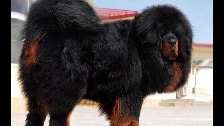 Worlds most expensive dog tibetan mastiff - Most Expensive Dog Breeds Most Expensive Dog In The World Is A Tibetan Mastiff