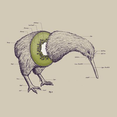 Kiwi Anatomy by William McDonald #Kiwi #William_McDonald #Illustration