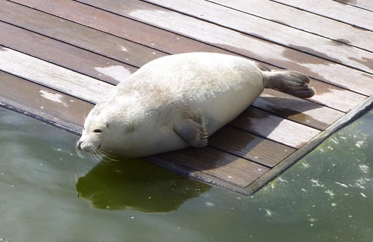 kleiner Seehund im Westküstenpark St. Peter Ording - (Ursula Sum)