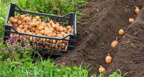 Kartoffeln pflanzen und ernten - Mein schöner Garten