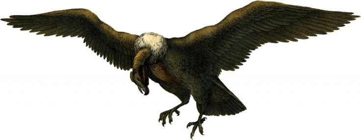 Vintage Vulture Image - The Graphics Fairy