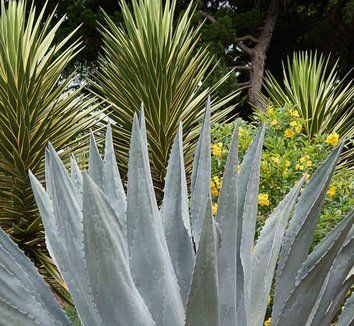 Agave americana | Century Plant | Maguey | American Agave| plant lust
