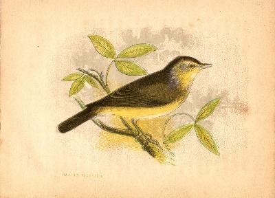 Anne Pratt - Garden Warbler - Hand Colored Print c1852