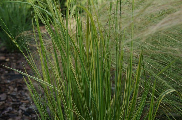 Wyczyniec łąkowy (Alopecurus pratensis) 'Aureovariegatus'