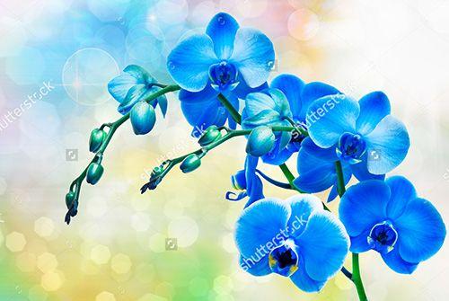 Фотообои красивые голубые орхидеи
