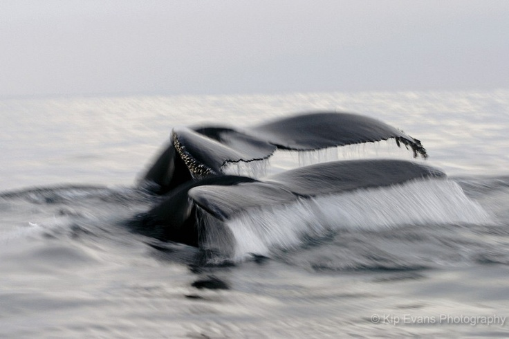 humpback whale tails on foggy Monterey Bay, photographed by Kip Evans