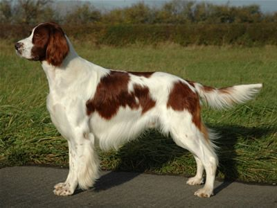 Image result for irish red and white setter