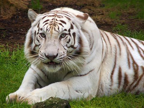 White Siberian Tiger | Diet: These tigers hunt big game like deers and wild boar. They will ...