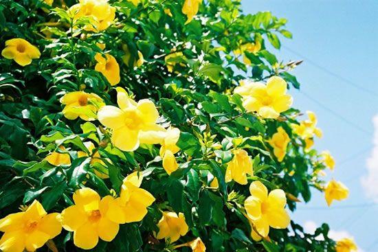 La trompeta amarilla, Alamanda o trompeta de oro es una planta de la familia de las Apocynaceae., es una trepadora con bonitas flores amarillas en forma de trompeta y hojas perennes, aunque también puede ser arbustiva dependiendo de cómo se dirija.