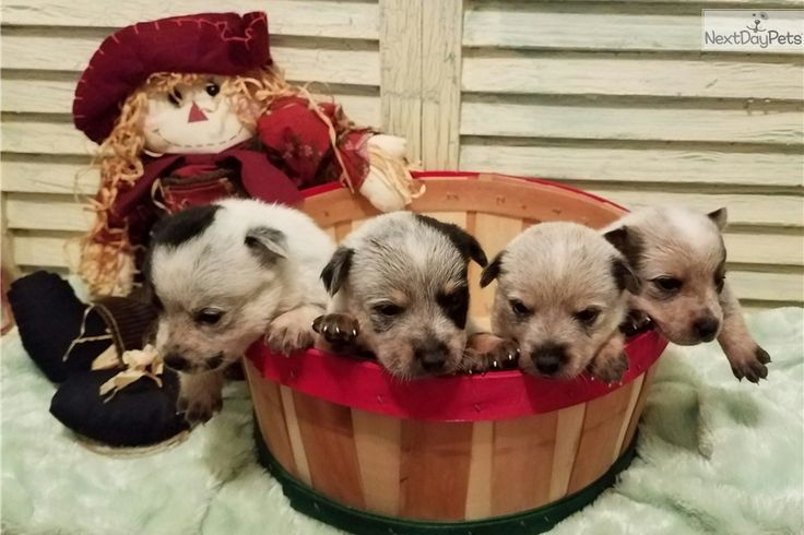 Australian cattle dogblue heeler puppy for sale near