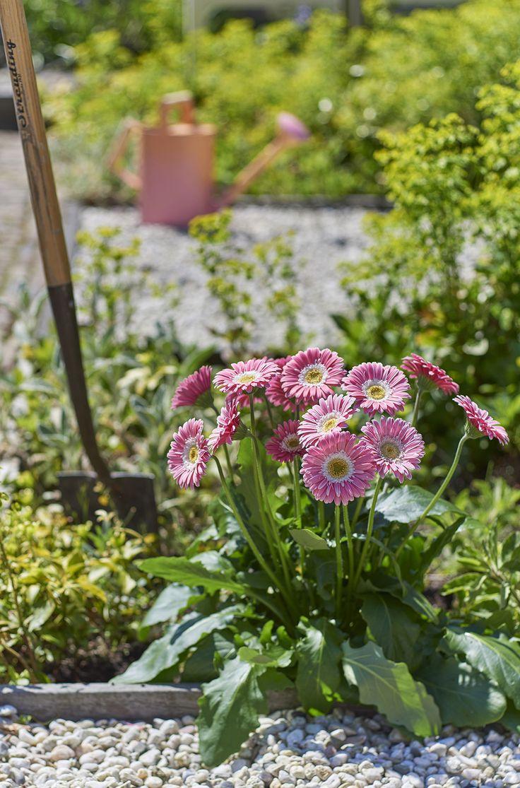 Garvinea® ideel voor in je border en in grote potten bloeit van de lente tot aan de eerste vorst