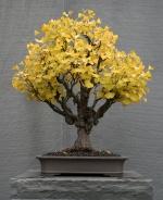 Ginko biloba (Madenhair Tree) bonsai