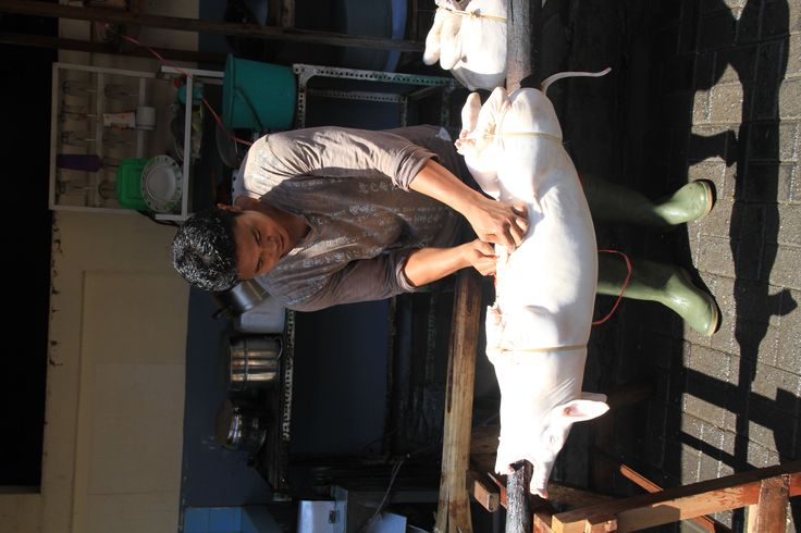 Babi Guling (Balinese Suckling Pig) filled with amazing aromatic spices in Bali Indonesia, the wood used is from the Coffee Tree