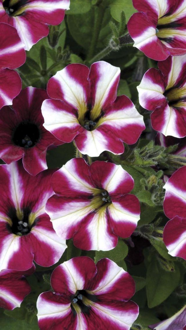 petunia_flowers_striped_duhtsvetnaya_
