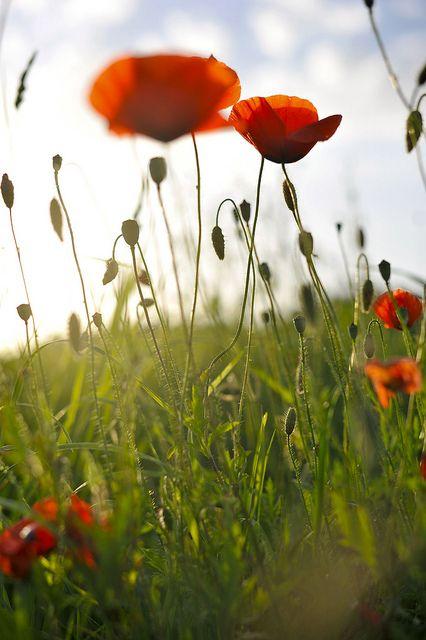 poppy field.