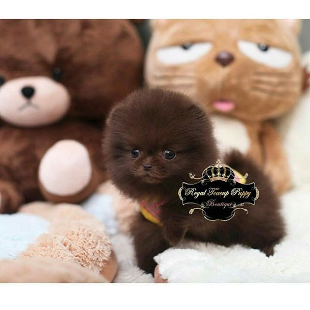 Micro tiny pomeranian puppy😍 For more tea cup pomeranians follow➡ @royalchicpuppy .  #beautiful #pom #instapet #puppy #toy #pomeranianpuppy #cute #cutedog #cutepuppy #pomeranianlove #dog  #love #dogs #špic #spitz #serbia #baby #doglover #pet #pets #cold #winter