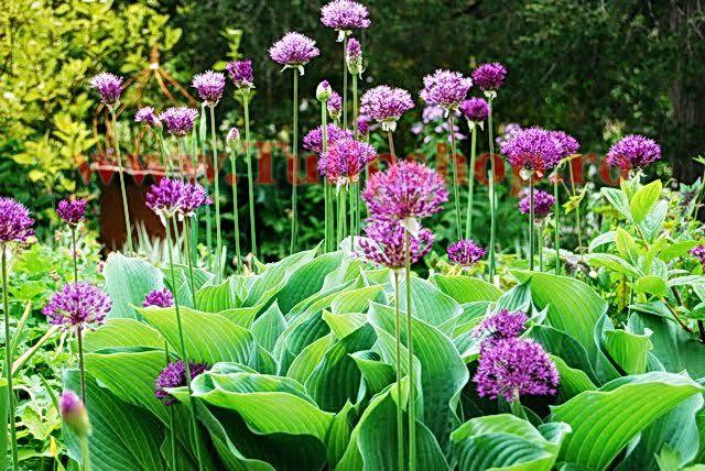 Bulbi Allium Aflatunense (Ceapa decorativa)