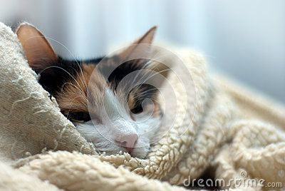 Sleepy cat wrapped up in her favourite blanket