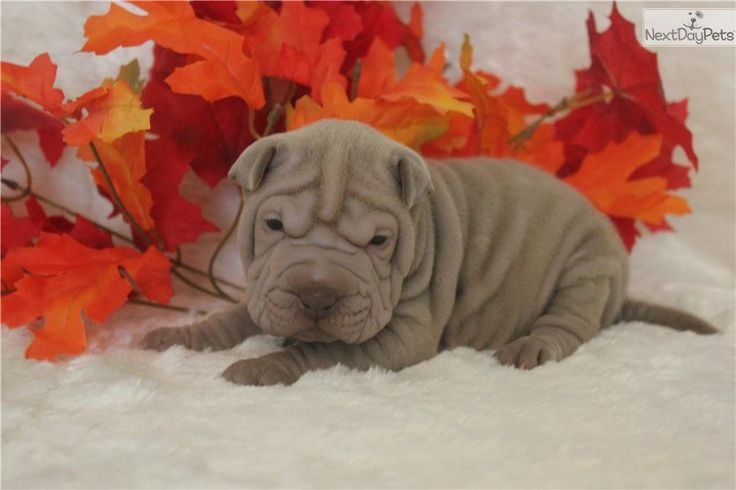 Meet AUTUMN LOVE a cute Chinese Shar-Pei puppy for sale for $850. AUTUMN LOVE-----PARENTS ARE 13 INCHES TALL!