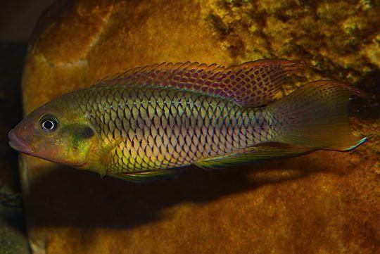 Картинки по запросу limbochromis robertsi