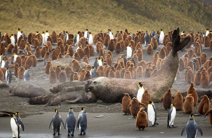 Huge Male Elephant Seal Surrounded With Penguins Photography By: David Merron
