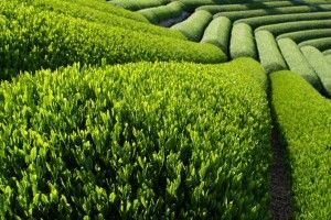 While you may not think of Green Tea as first and foremost a nootropic, it does contain two of the most popular cognitive enhancement ingredients used toda