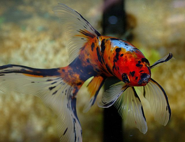 Shubunkin Goldfish - One day I will have a beautiful fish tank like momma :)