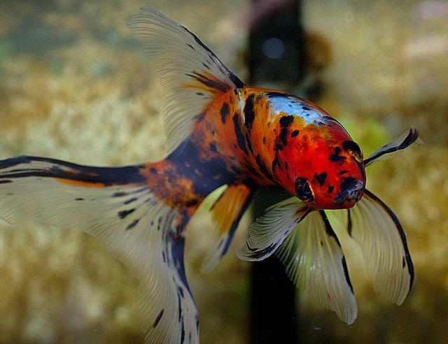 Shubunkin Goldfish - One day I will have a beautiful fish tank like momma :)