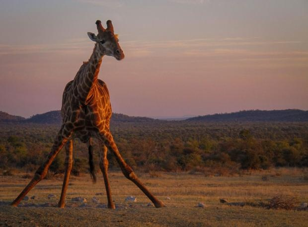 Photographic safari | Giraffe at sunset | Romy Lee