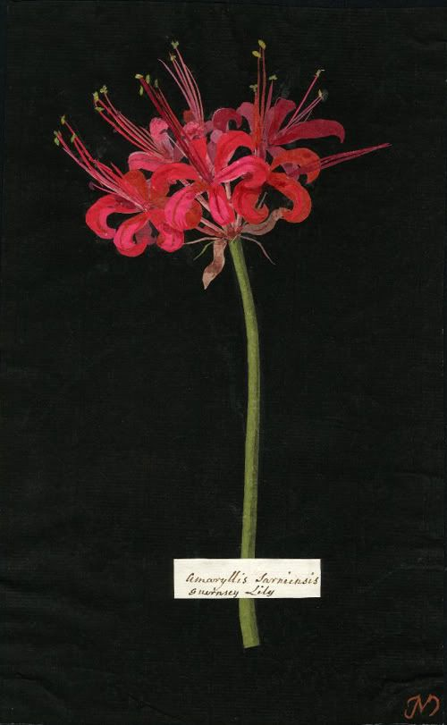 Mary Delany, Amaryllis Sarniensis (Hex: Mono:), Guernsey Lily. 1775: Mary Delany, Botanical Illustration, Lilies, Mary Delaney, Art Botanical Prints, Botanical Art, Floral, Flower