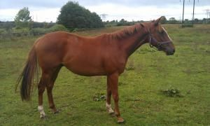 3yo Papal Bull Gelding From Family of Flat Winners   ParadeRing Horse Sales
