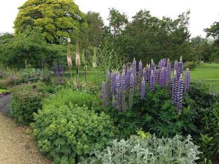 Lupins, Alchemilla, Stachys and Eremurus in the white and purple border at Woburn Abbey