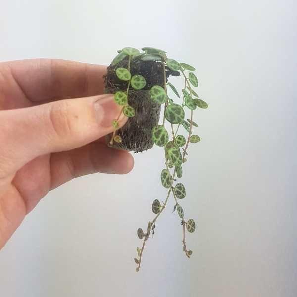 Peperomia Prostrata House Plants Plant Decor Indoor Tall Indoor Plants