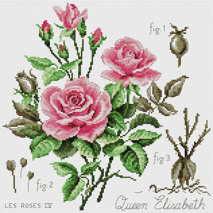 Etude a la rose (Queen Elizabeth)