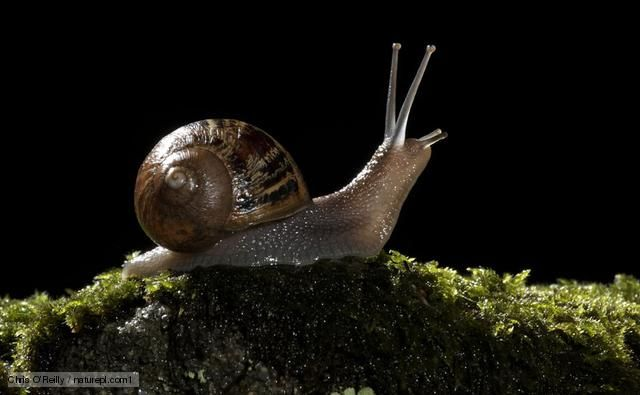 BBC Nature - Garden snail videos, news and facts