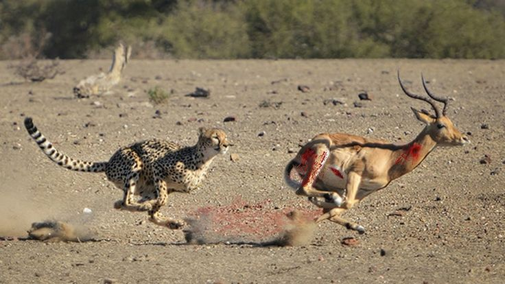 Leopard Kills Gazelle | Leopard Skills | Leopard kills Antelope