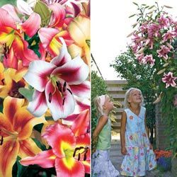 Flower Bulbs Hybrid Lily Tree Mix Gardens More Garden Plants Bulb Flowers