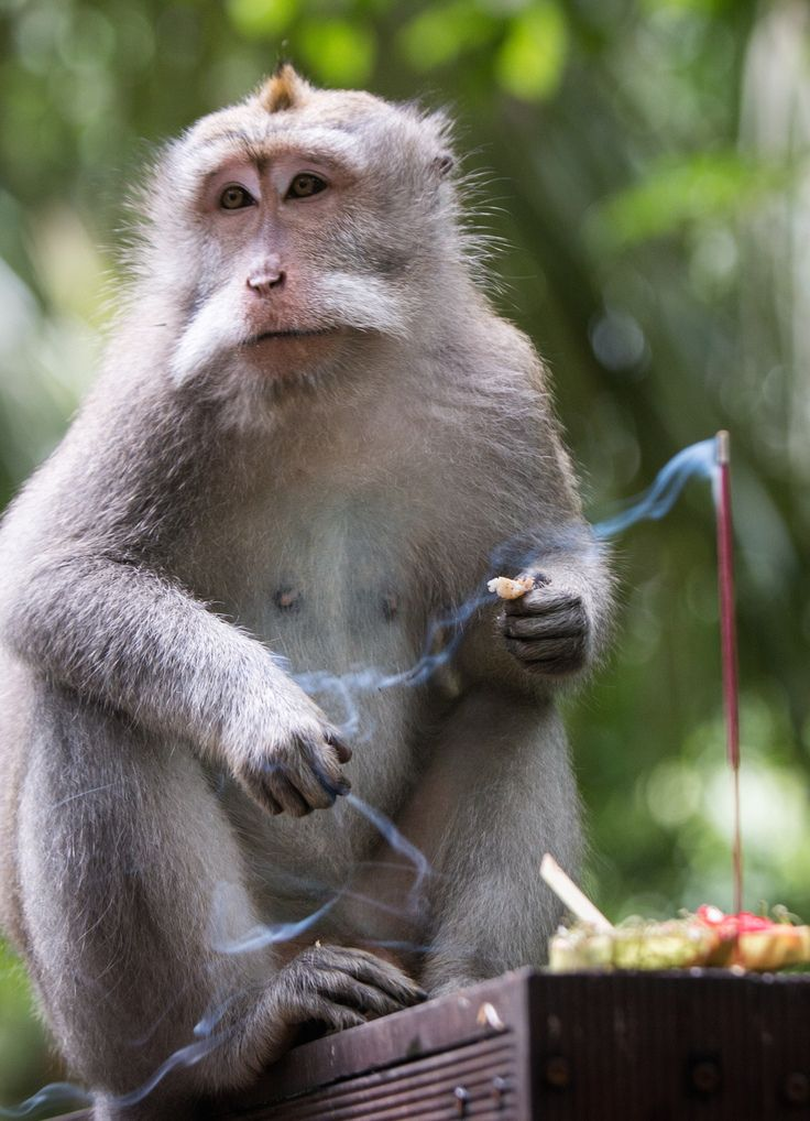 Monkey stealing from the offering at the Monkey Forest in Ubud. #bali #ubud #familytravel