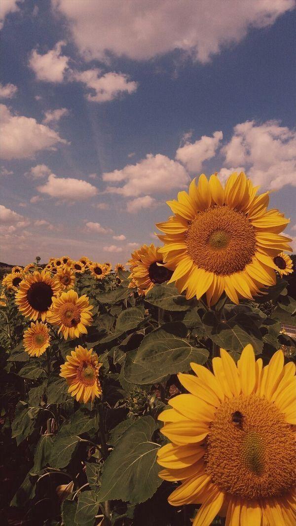 Wallpaper Golden Wallpaper Sunflower Wallpaper Photography Wallpaper