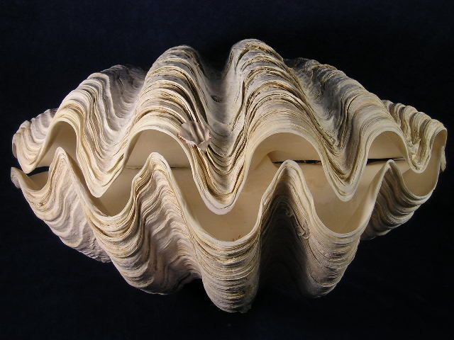 The Giant Tridacna Gigas Clam is the king of clams. Tridacna Gigas clam seashells are the largest bivalves in the world which can reach up to 4 feet across.  Giant clam sea shells are successfully farmed making them an excellent renewable resource. Giant clams are considered a delicacy in the South Pacific.