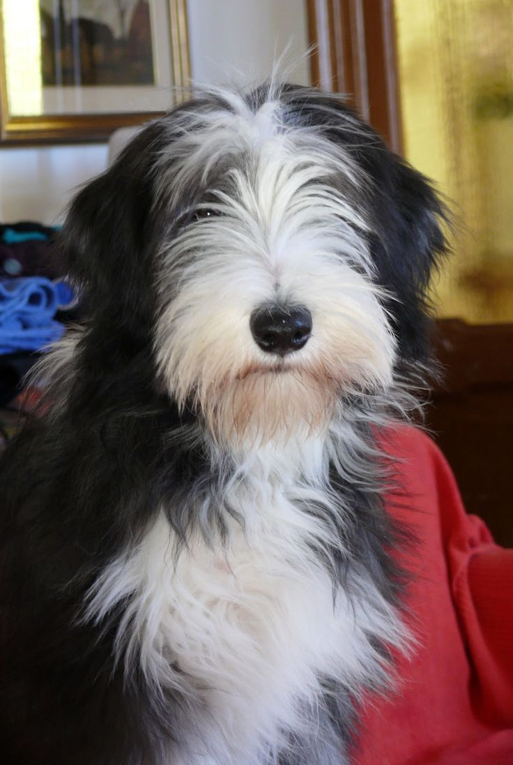 Nina Bearded Collie , dog black and White , www.labandedesfaineantes.blogspot.it