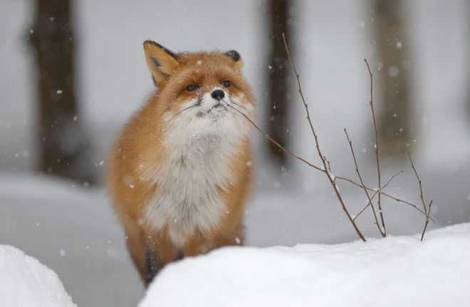 Foxes: Facts & Pictures