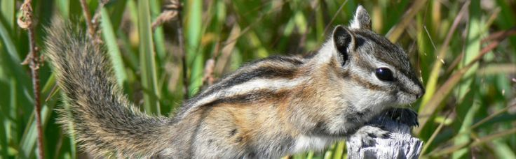 A beautiful tiny chipmunk. Photo taken in the Yukon, Canada.