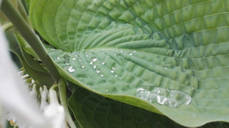 Raindrops in a Leaf