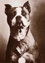 Sergeant Stubby (1916 or 1917 – March 16, 1926), was the most decorated war dog of World War I and the only dog to be promoted to sergeant through combat.   Oh yeah, and he was a pit :)