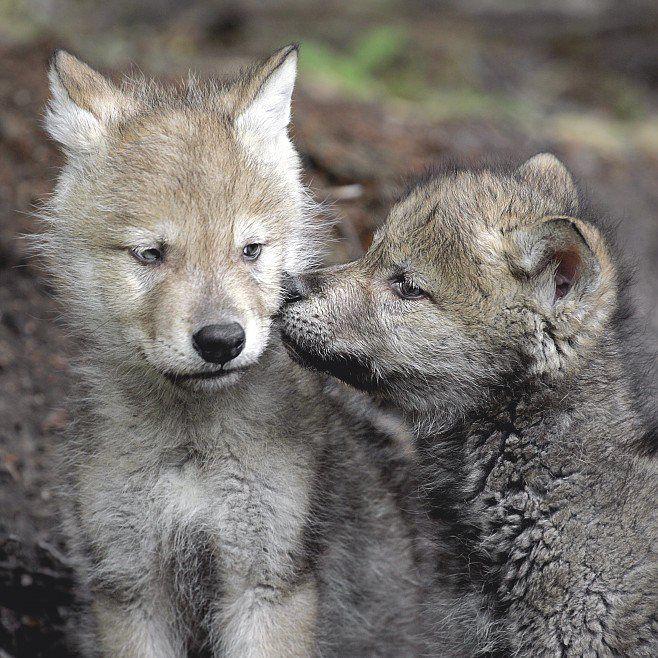 Wolf pups.