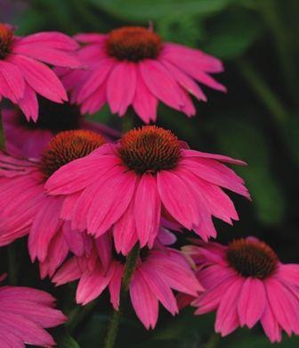 The newest addition to my garden, Pow Wow, (coneflower)Powwow Wild, Pow Wow, Perennials Plants, Wildberry, Gardens, Coneflower, Wild Berries, Cut Flower, Echinacea Purpurea