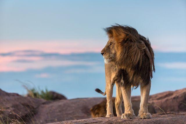 【ライオン 獅子 Lion】  ボブ・マーリーのようなドレッドヘアのライオン(タンザニア)