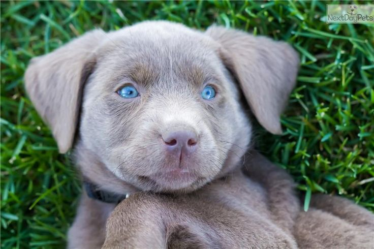 Meet Gracie a cute Labrador Retriever puppy for sale for $3,800. Professionally Trained Female Silver Lab Puppy